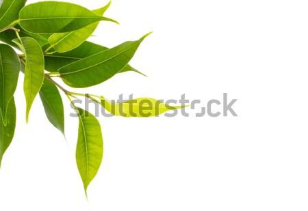 Green leaves. Stock photo © gitusik