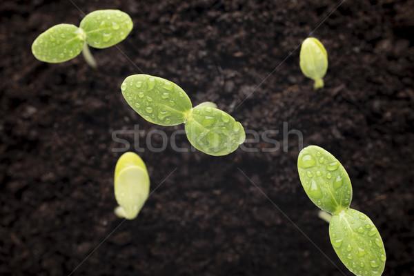Zaden gegroeid jonge zaailingen voorjaar blad Stockfoto © gitusik