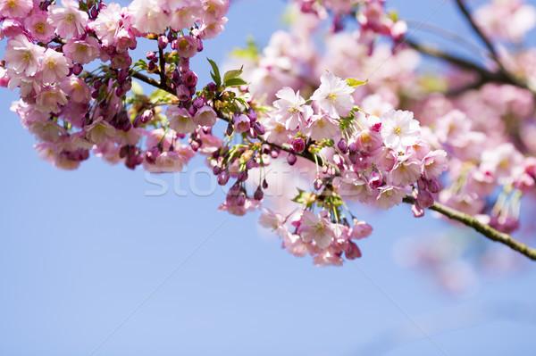 Sakura albero ciliegio giardino fiorire primavera Foto d'archivio © gitusik