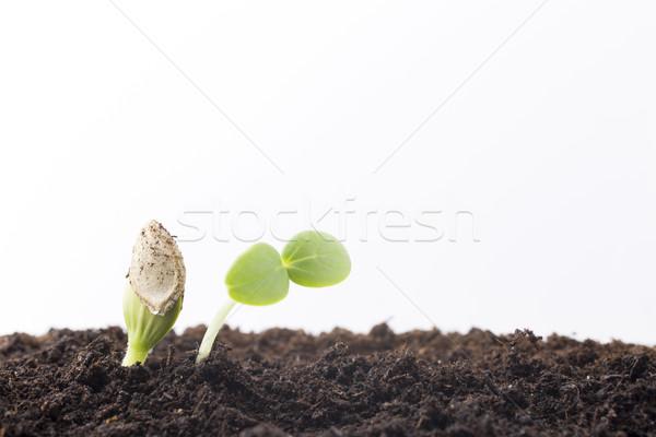 種子 成長した 小さな 苗 春 葉 ストックフォト © gitusik