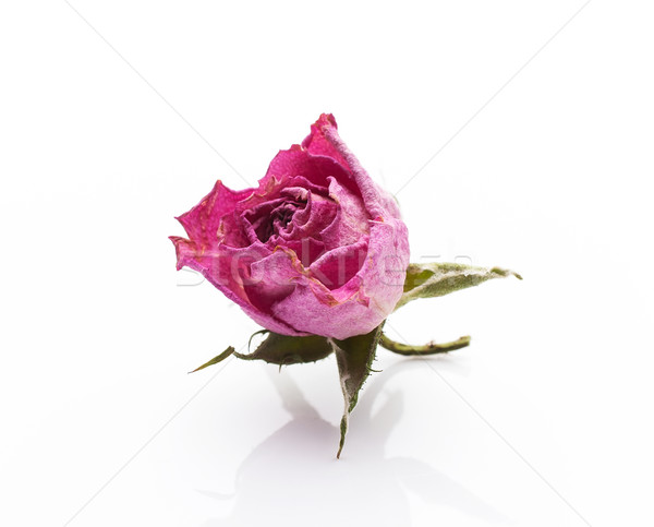 Secas rosa secar flor-de-rosa isolado branco Foto stock © gitusik