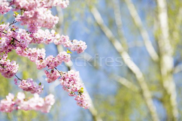 Sakura árvore cereja jardim florescer primavera Foto stock © gitusik