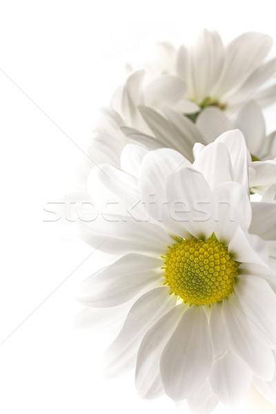 Fehér krizantém izolált fehér hátterek virág virágok Stock fotó © gitusik