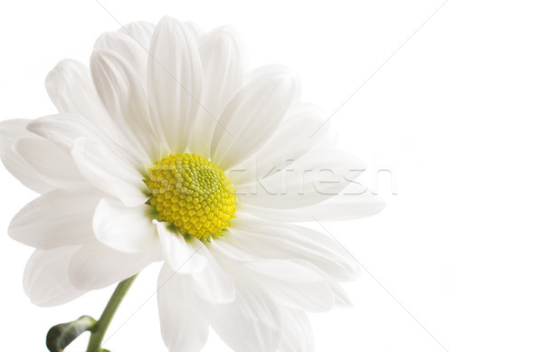 Beyaz krizantem yalıtılmış beyaz arka plan çiçek çiçekler Stok fotoğraf © gitusik