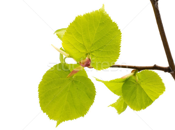 Lime leaves of the tree. Stock photo © gitusik