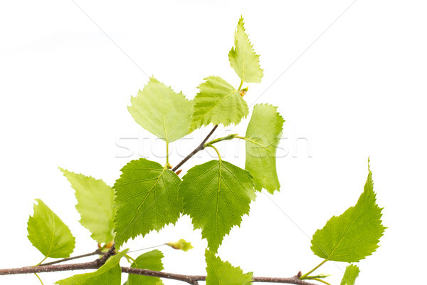 Birch leaves of the tree. Stock photo © gitusik
