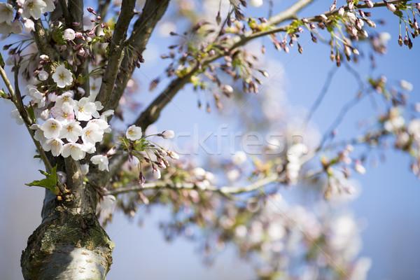 Sakura ağaç kiraz bahçe çiçeklenme bahar Stok fotoğraf © gitusik