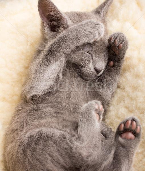 Kotek snem rosyjski niebieski kot zwierząt Zdjęcia stock © gitusik