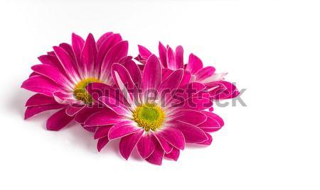 Roze chrysant geïsoleerd witte achtergronden bloem bloemen Stockfoto © gitusik