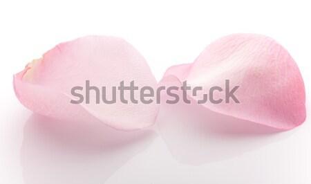 Pétalas rosa pétalas de rosa isolado branco flor Foto stock © gitusik