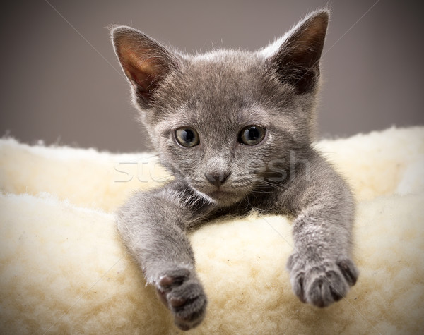 Chaton bleu chat vie chats Photo stock © gitusik