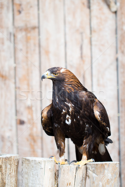 Stock photo: Spanish imperial eagle - Hunting eagle.