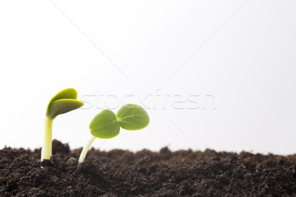 From seeds grown young seedlings. Stock photo © gitusik