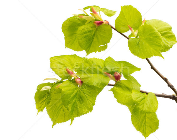 Kalk Blätter Baum isoliert weiß Garten Stock foto © gitusik