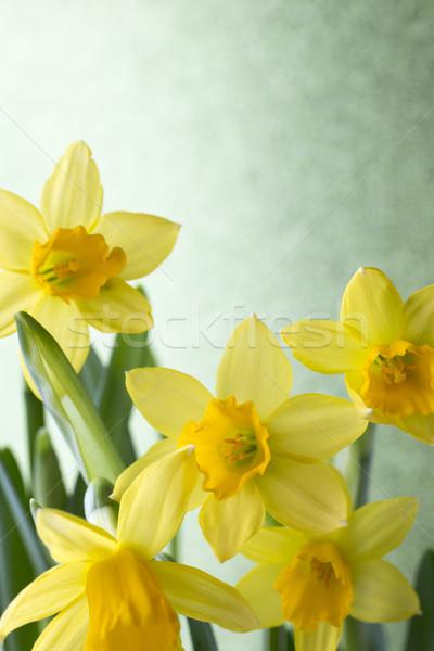 Nergis sarı renkli Paskalya tebrik kartı çiçek Stok fotoğraf © gitusik