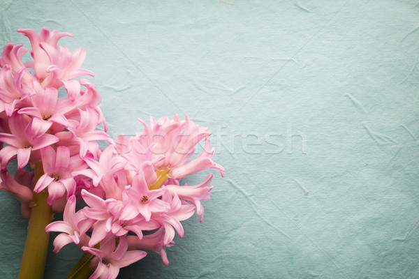 Hyacinth. Stock photo © gitusik