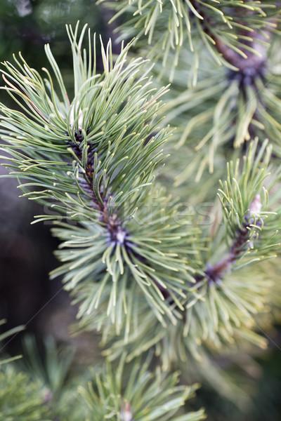 Tűlevelű faág fa ősz hátterek mag Stock fotó © gitusik