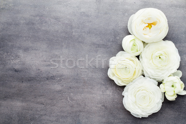 Beautiful colored ranunculus flowers on a gray background. Stock photo © gitusik