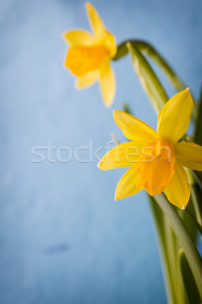 Narcisos amarelo páscoa cartão flor Foto stock © gitusik
