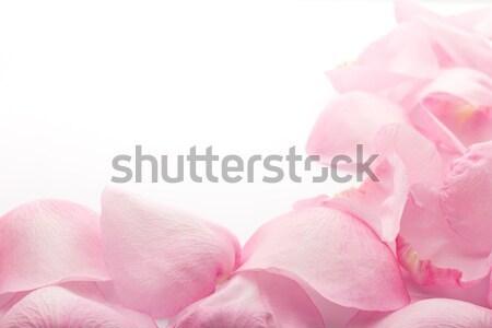 Petals rose. Stock photo © gitusik