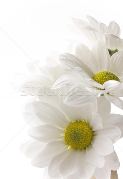 White chrysanthemum. Stock photo © gitusik