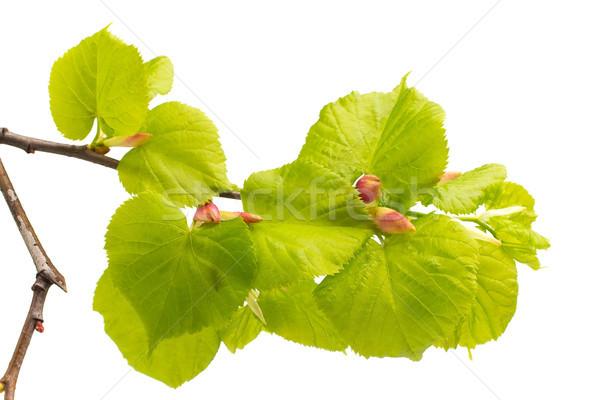 Calce foglie albero isolato bianco giardino Foto d'archivio © gitusik