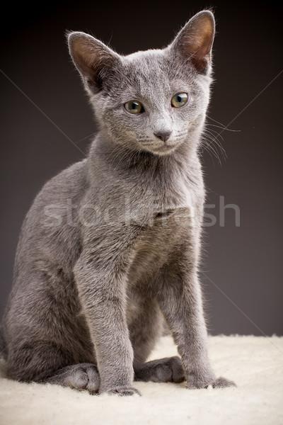 Kedi yavrusu rus mavi kedi Evcil sevimli Stok fotoğraf © gitusik