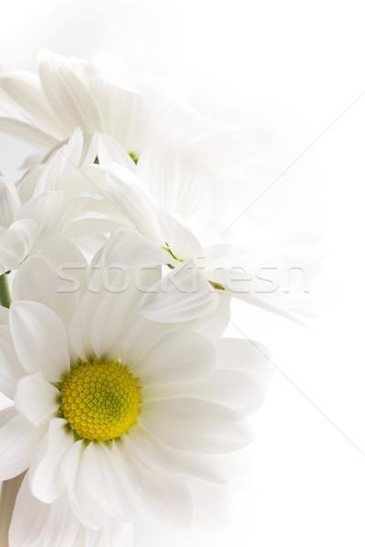 Stok fotoğraf: Beyaz · krizantem · yalıtılmış · beyaz · arka · plan · çiçek · çiçekler