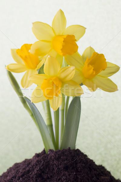 Narcissen Geel gekleurd Pasen wenskaart bloem Stockfoto © gitusik