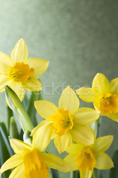 нарциссов желтый Пасху цветок Сток-фото © gitusik