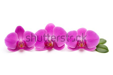 Rosa orchidea bianco orchidee fiore sfondo Foto d'archivio © gitusik