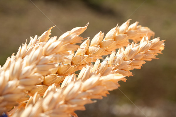 sheaf of wheat under the sun Stock photo © Giulio_Fornasar