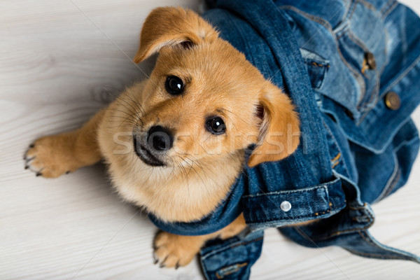 dog little puppy looking for love Stock photo © Giulio_Fornasar