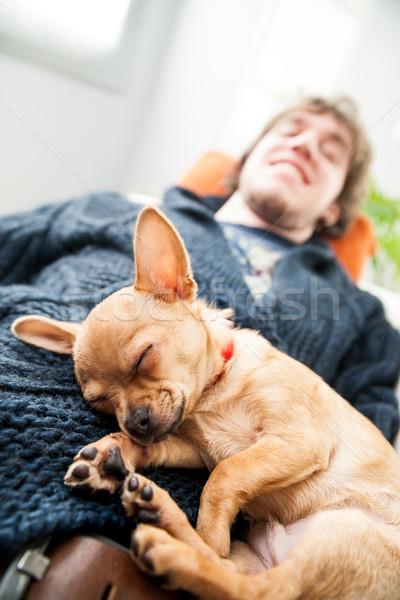 Cute little chihuahua fast asleep Stock photo © Giulio_Fornasar