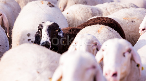 the black sheep of the family Stock photo © Giulio_Fornasar