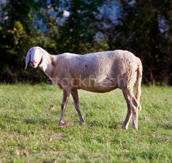 white sheeps in the countryside  Stock photo © Giulio_Fornasar