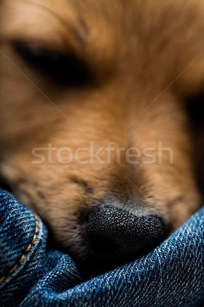 closeup of little sleeping dog's nose  Stock photo © Giulio_Fornasar