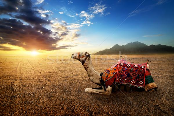 верблюда пустыне полуостров закат солнце Восход Сток-фото © Givaga