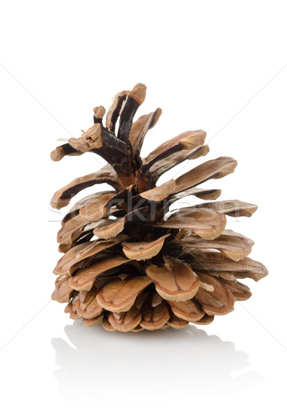 Pine cone isolated Stock photo © Givaga