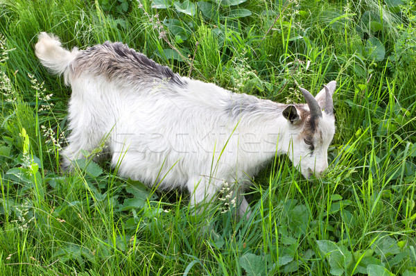 Goat grazing Stock photo © Givaga