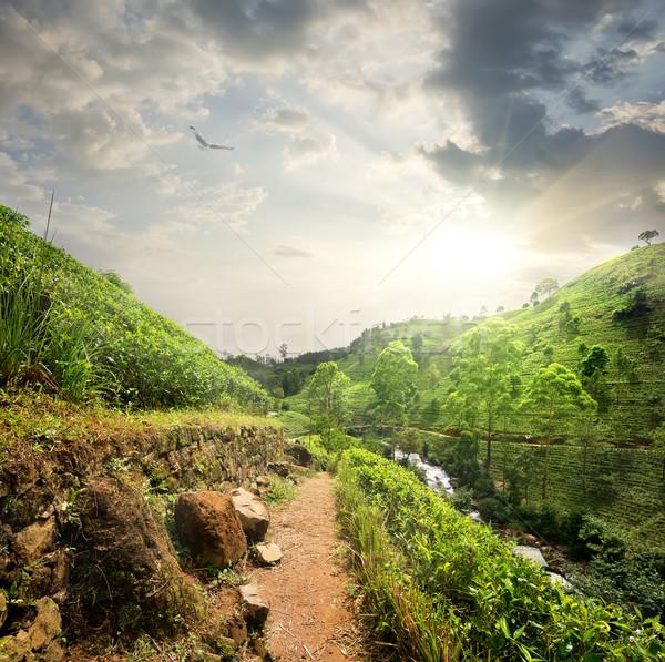 Bird over tea fields Stock photo © Givaga