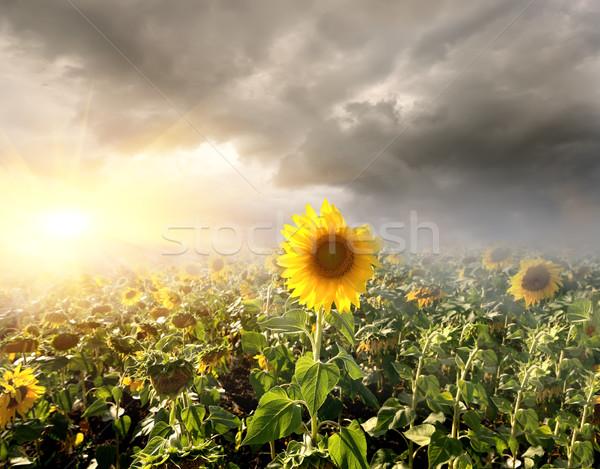 Stock fotó: Napraforgók · mező · nap · felhők · napraforgó · virág