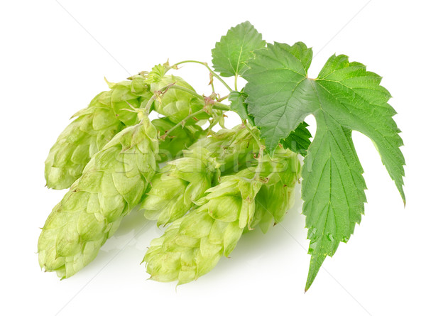 Cluster of hops Stock photo © Givaga