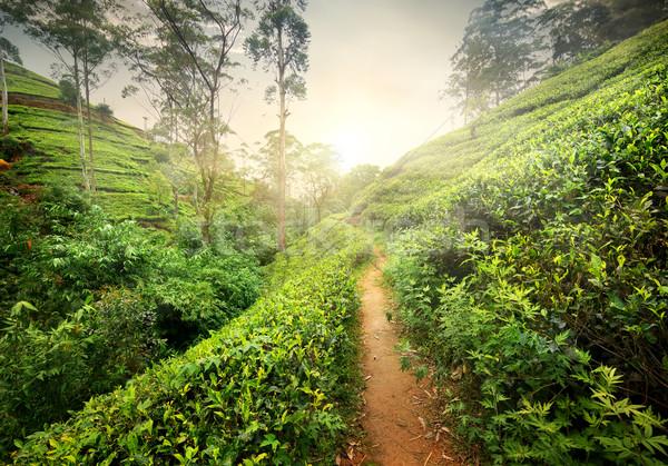 Footpath in tea plantation Stock photo © Givaga