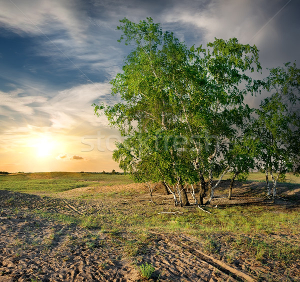 Birches in the desert Stock photo © Givaga