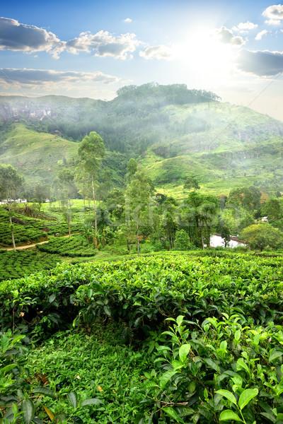Mezők tea hegy Sri Lanka naplemente mező Stock fotó © Givaga