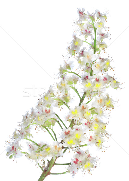 Châtaigne branche fleurs isolé blanche Photo stock © Givaga