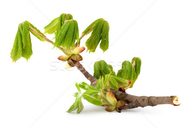 Branch of chestnut Stock photo © Givaga