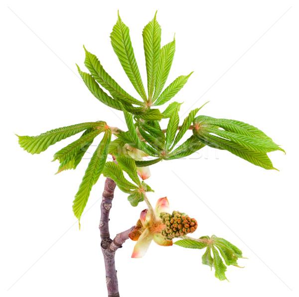Spring chestnut Stock photo © Givaga