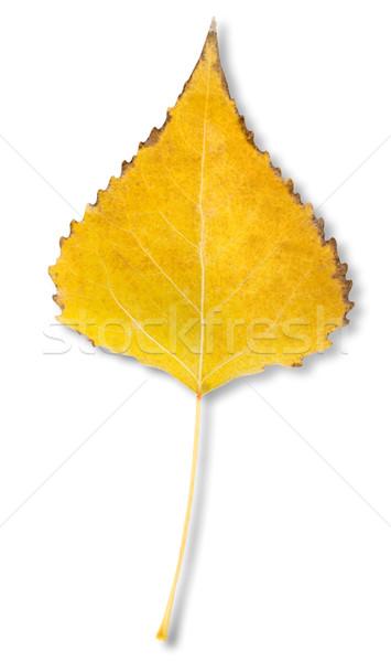 Nyírfa levél izolált fehér vágási körvonal hátterek Stock fotó © Givaga